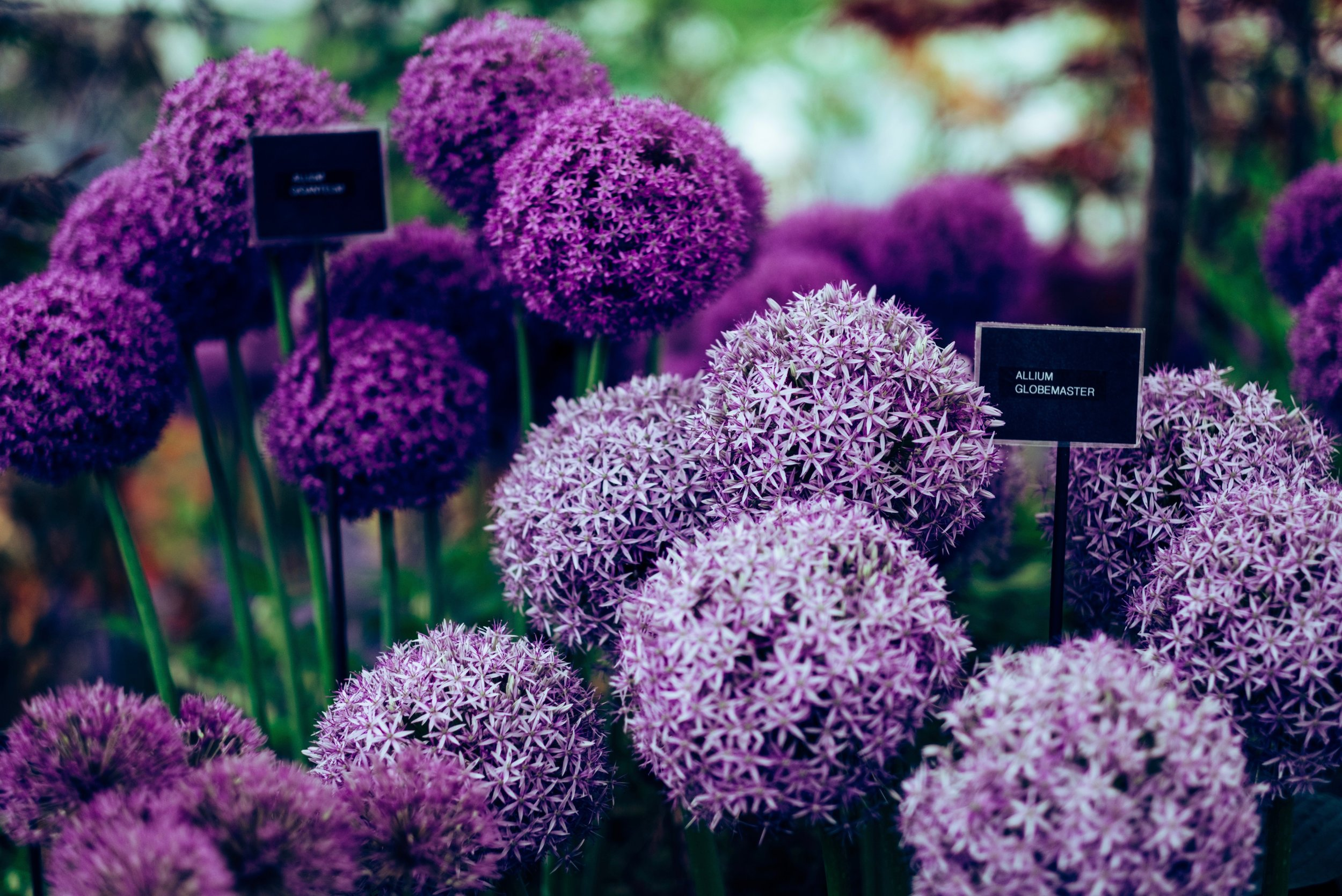 List of spring flowers scotland alliums.jpg