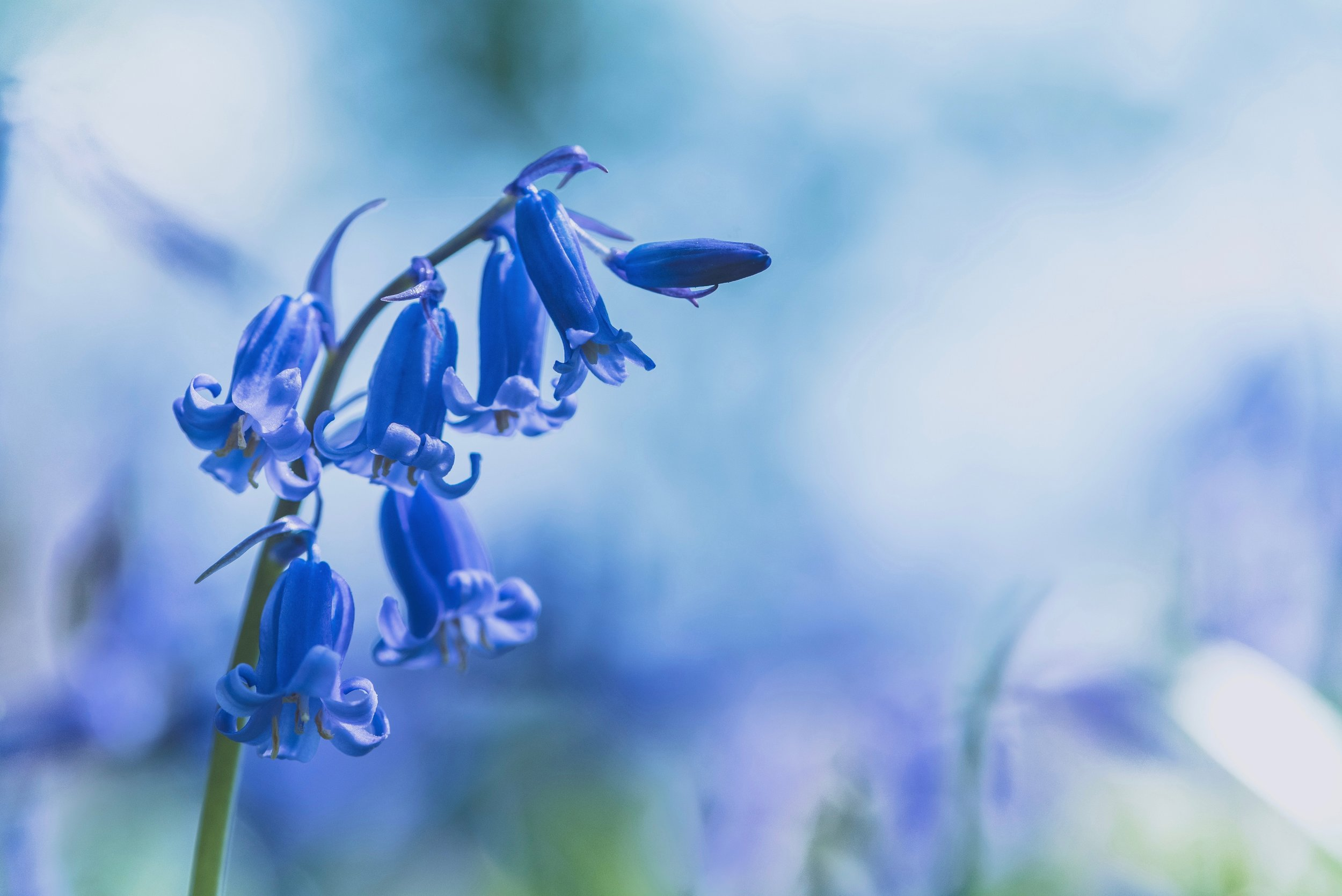 List of spring flowers scotland bluebells1.jpg