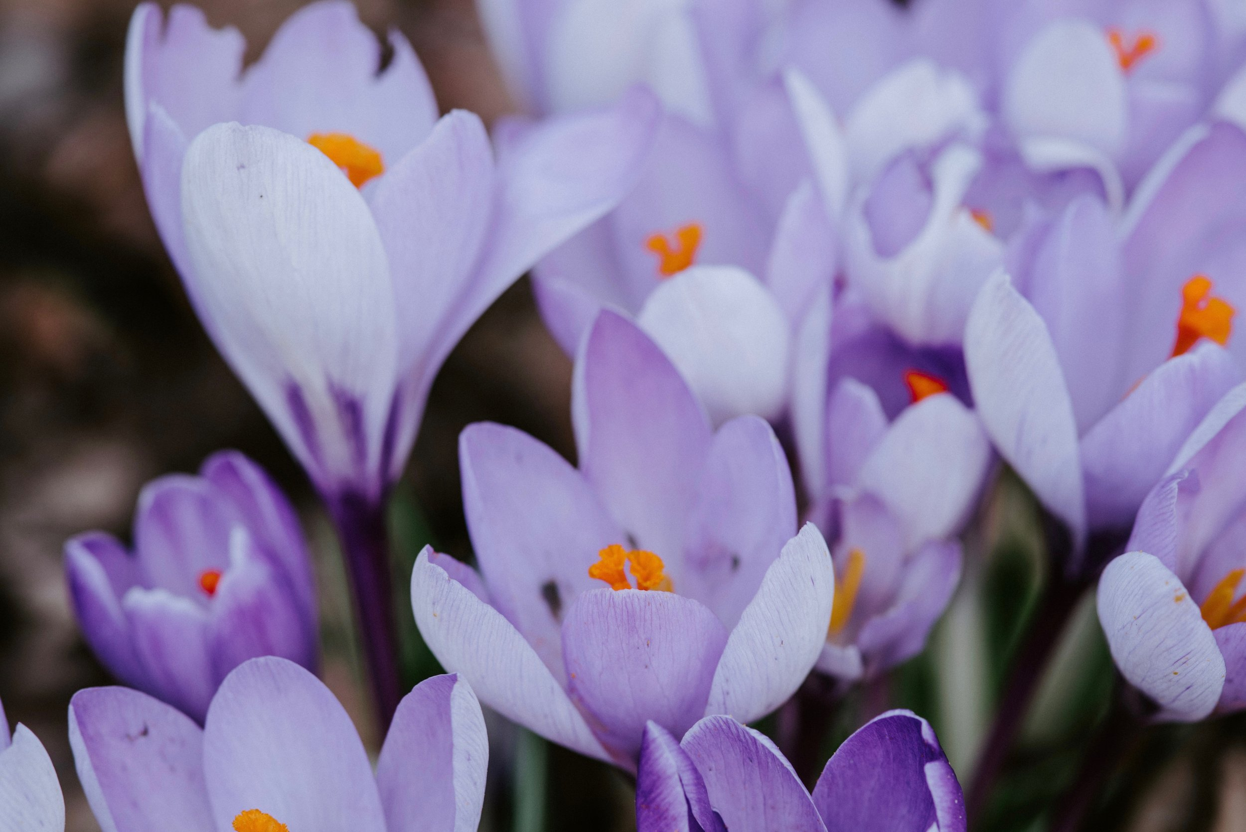 List of spring flowers scotland crocus.jpg