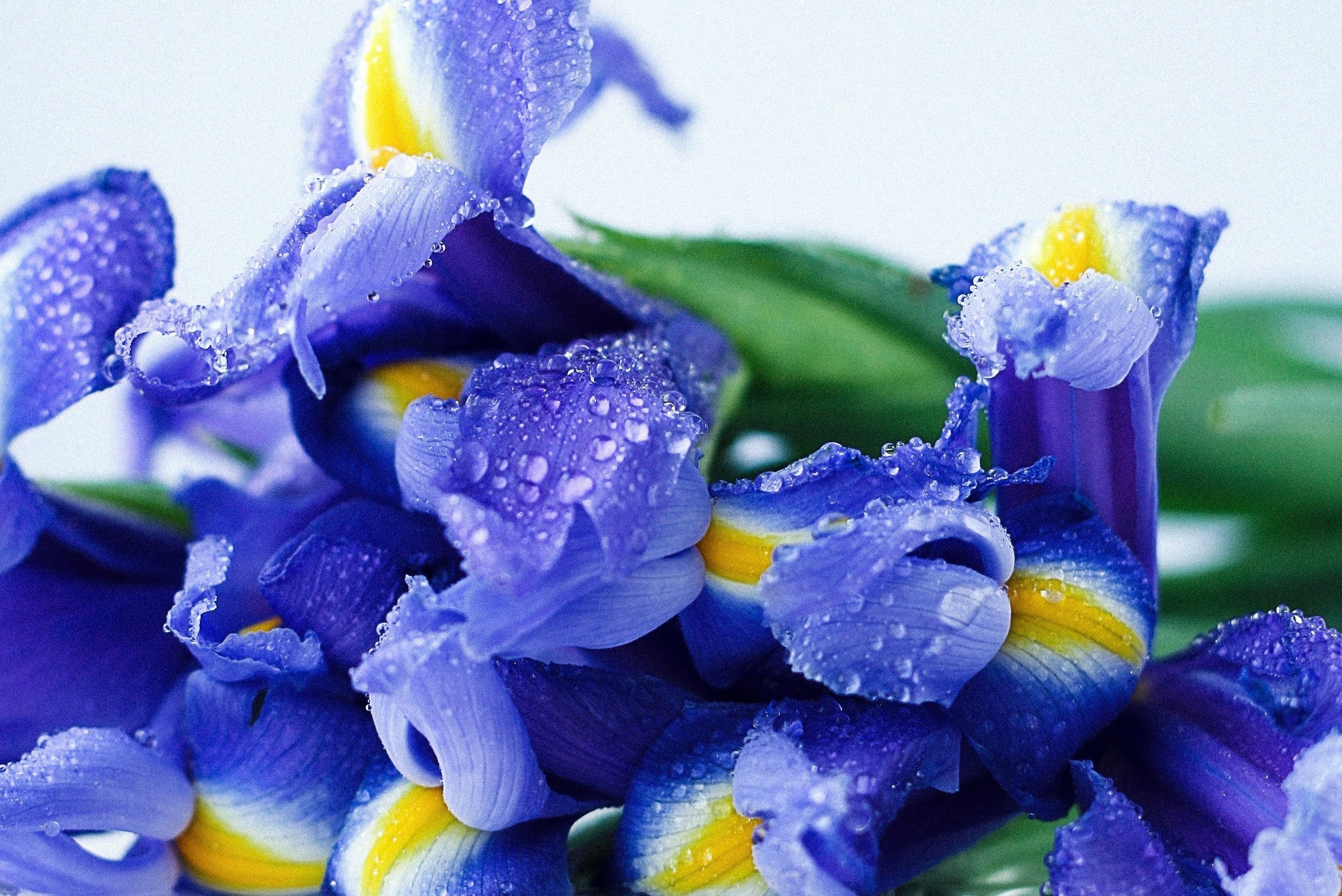 List of spring flowers iris.jpg
