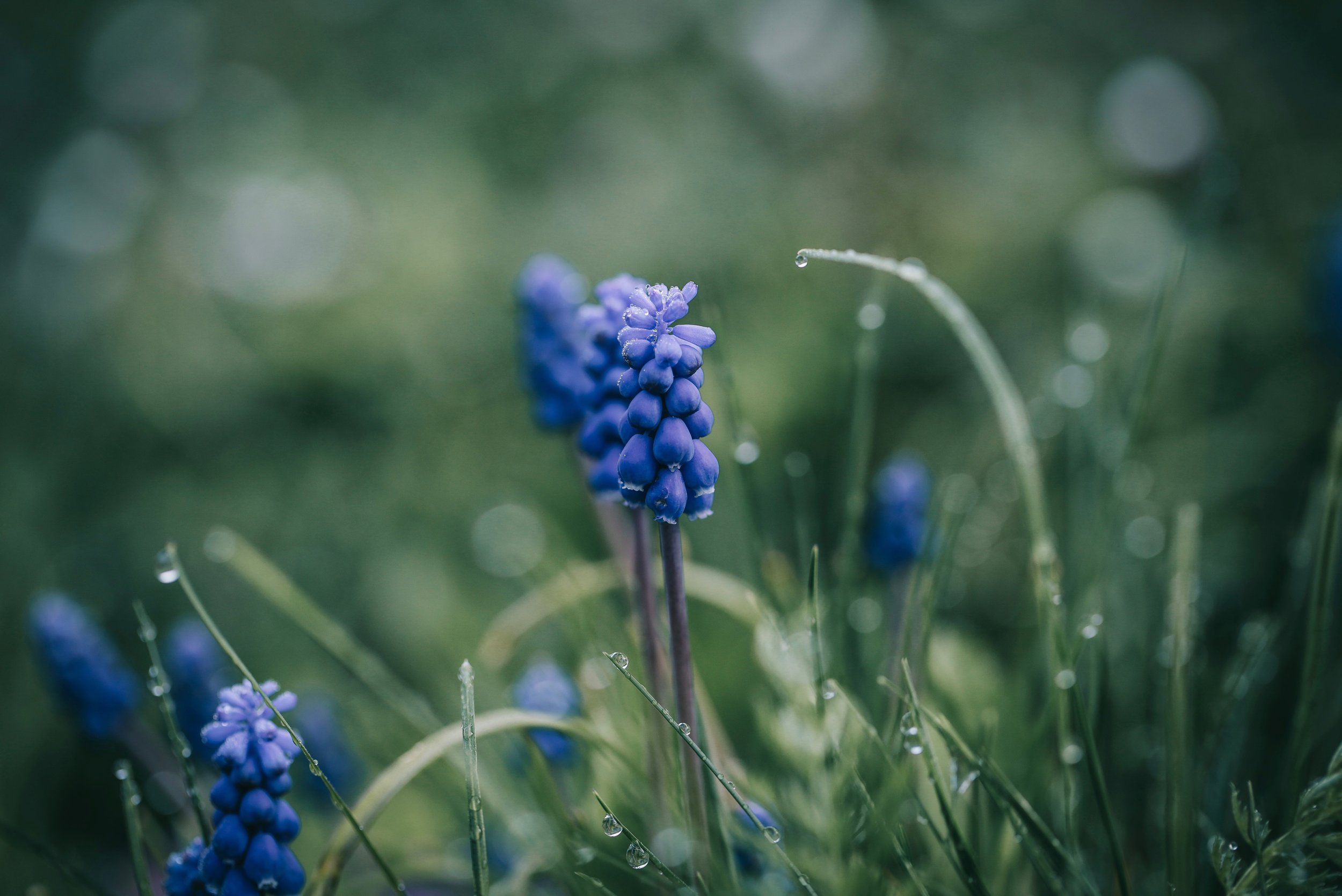 List of spring flowers scotland muscari 1.jpg