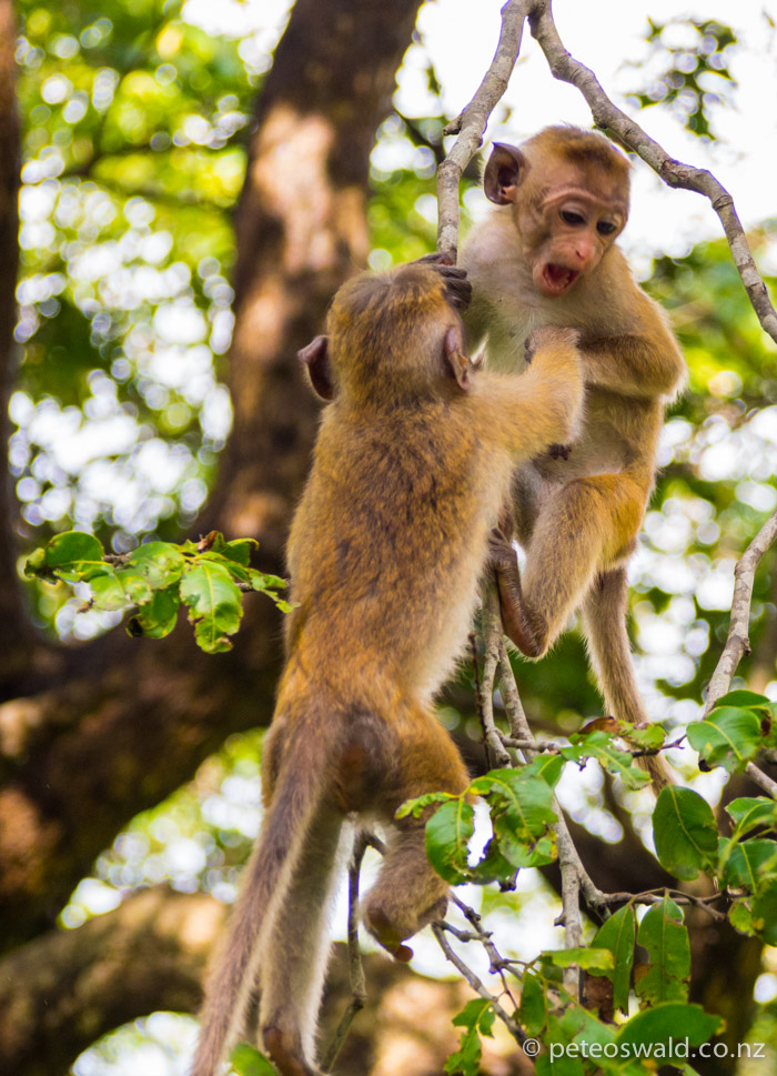 Little baby torque macaques play in the trees