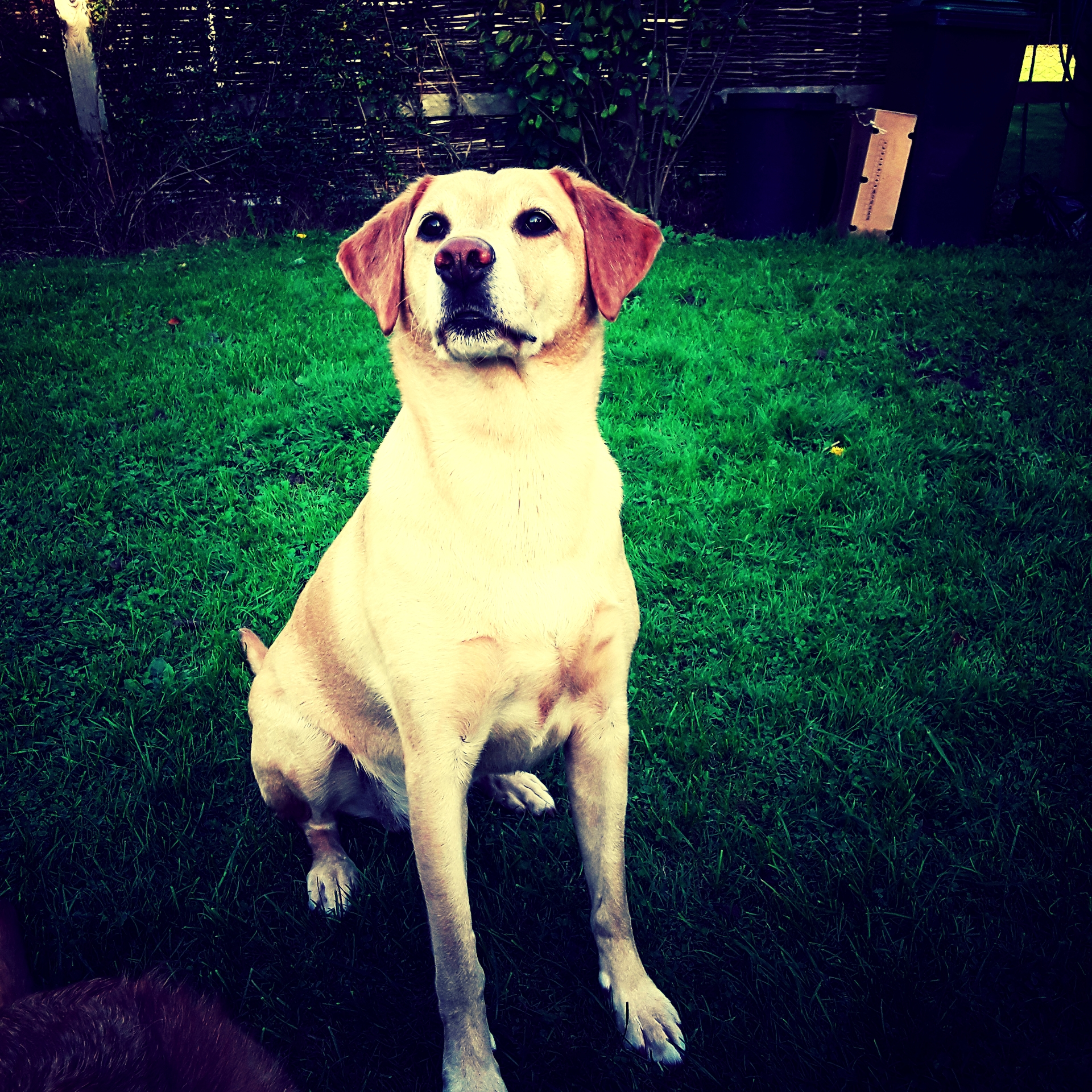 - He lifts his head into the air and with a left and right twitch of the nose drinks in the scent of the pheasants that are in the field way ahead.Gundogs have been bred for centuries to follow a scent of wounded game and retrieve it back to their owners