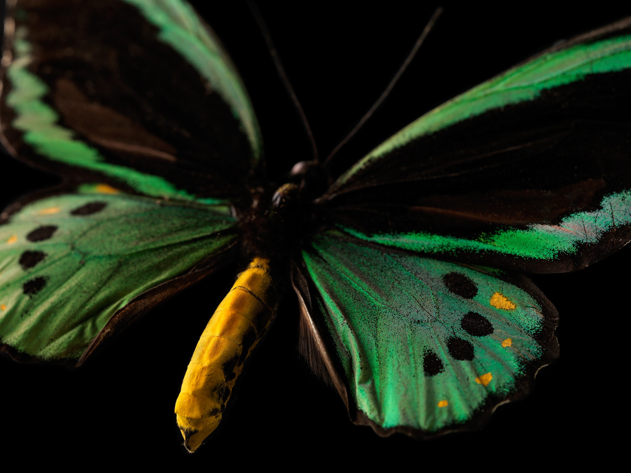 Cairns birdwing butterfly, Ornithoptera euphorion  Courtesy of the Tasmanian Museum and Art Gallery