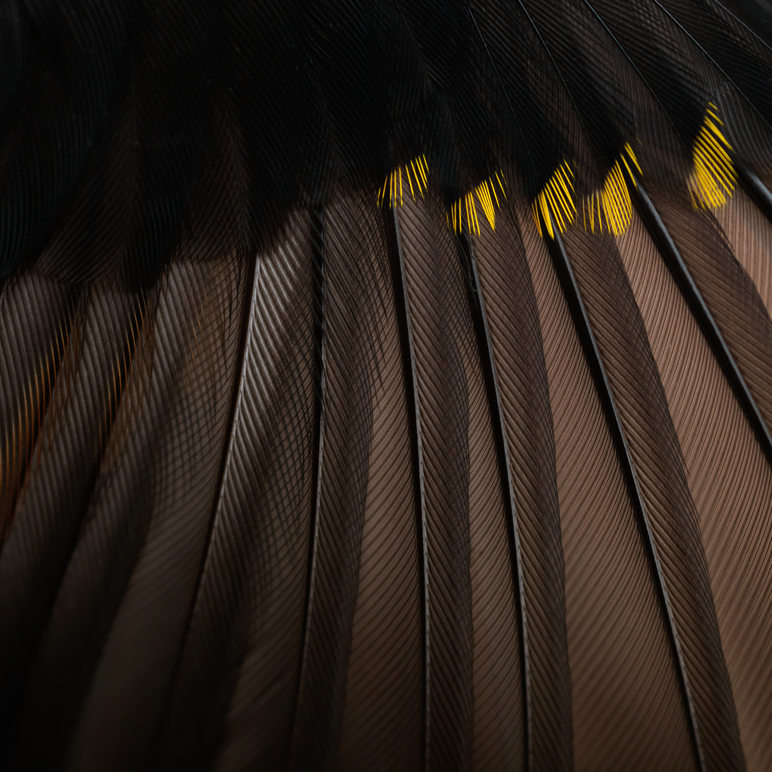 Wing detail of a striated pardalote