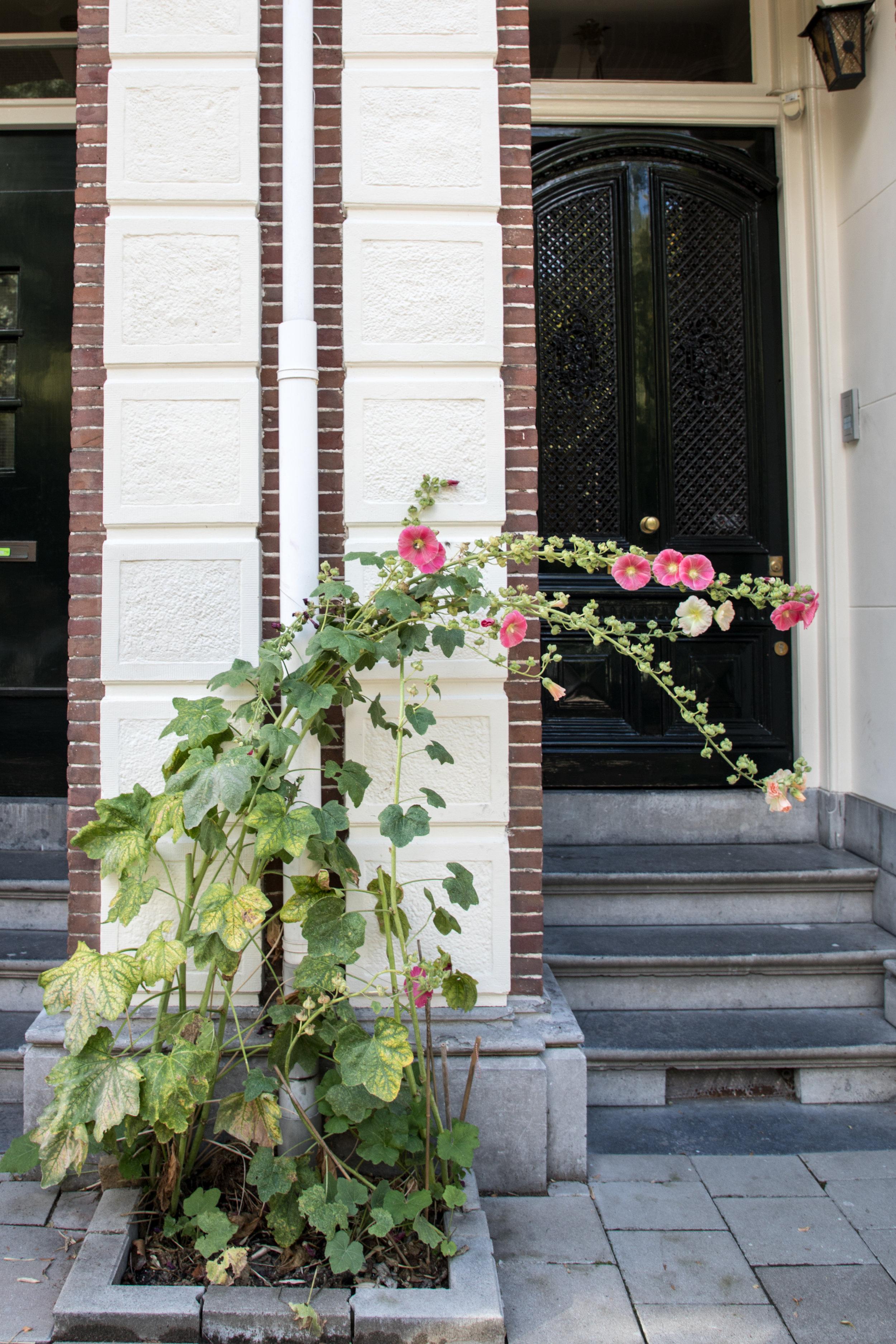 amsterdam-summer-hollyhocks-7.jpg