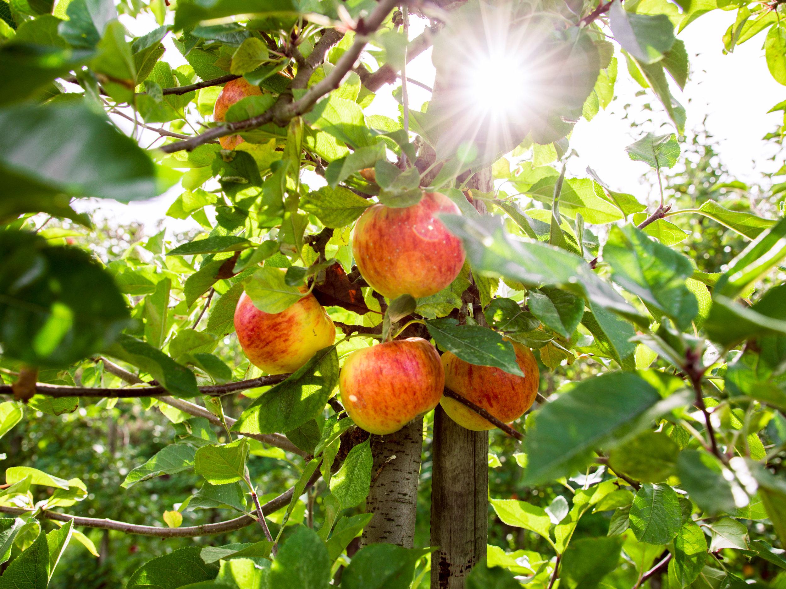 Apple Orchard 2017-3.jpg