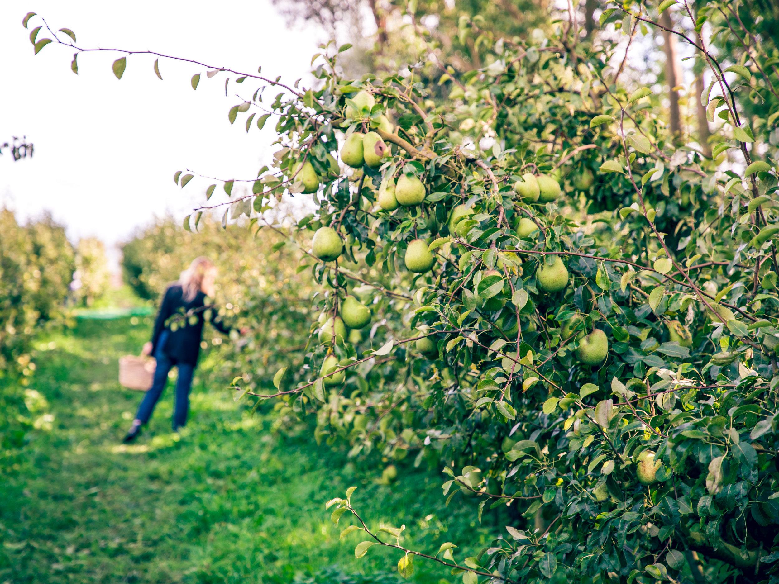 Apple Orchard 2017-15.jpg