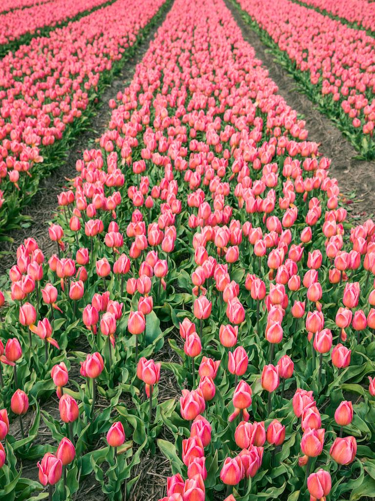 Lily-Heaton-Tulips-2018-21.jpg