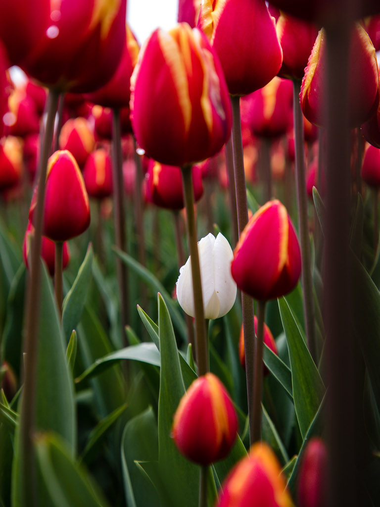 Lily-Heaton-Tulips-2018-7.jpg