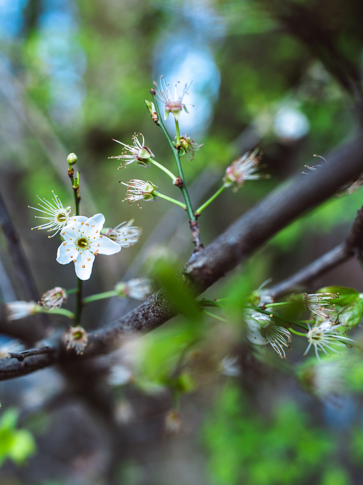 Amsterdam Vondelpark Spring Cherry Blossoms 2019 © Lily Heaton-1.jpg