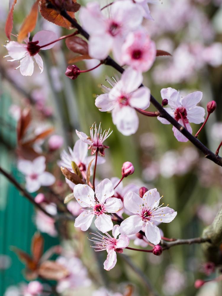 Amsterdam Vondelpark Spring Cherry Blossoms 2019 © Lily Heaton-8.jpg