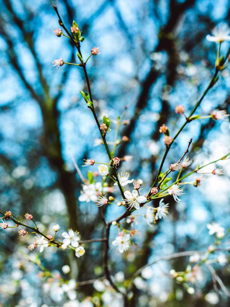 Amsterdam-Vondelpark-Spring-Cherry-Blossoms-2019 © Lily Heaton-22.jpg