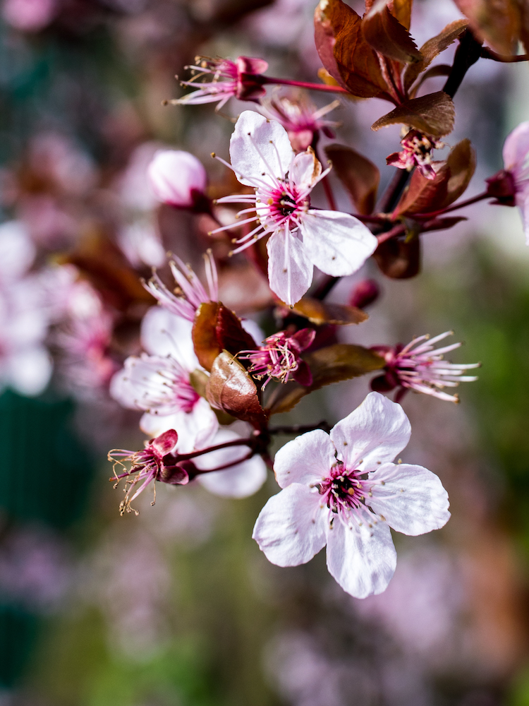 Amsterdam Vondelpark Spring Cherry Blossoms 2019 © Lily Heaton-11.jpg
