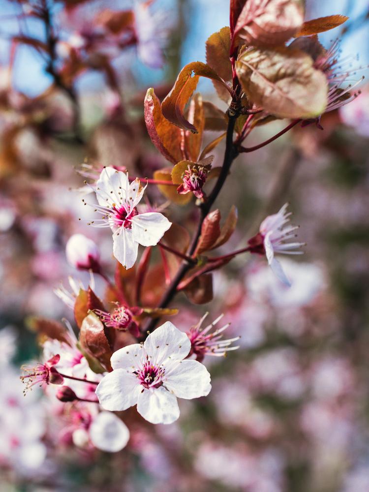 Amsterdam-Vondelpark-Spring-Cherry-Blossoms-2019 © Lily Heaton.jpg