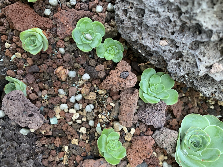 Aeonium dodrantale Greenovia dodrentalis SANHOC Semi Pacchetto 2 SeedsSEED Syn