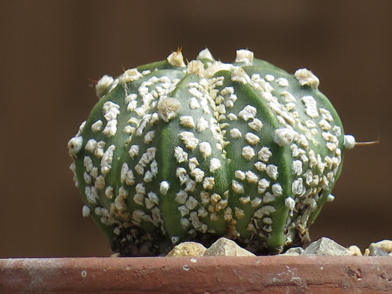 Astrophytum asterias super kabuto seeds 10  SEEDS cactus