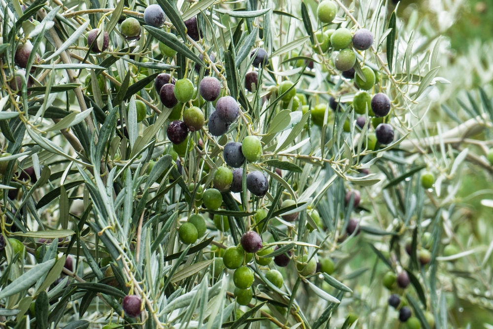 Olives up close. Photo Source: Donations_are_appreciated on Pixabay