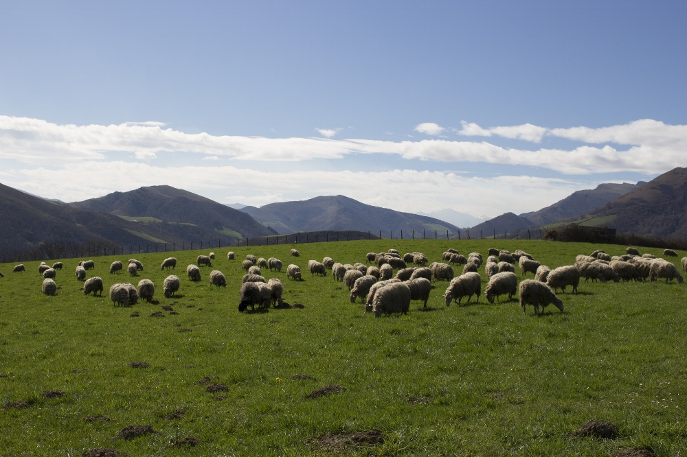 Sheep in the Basque Country. Photo source Pixabay Ovejas, País Vasco, Montaña× Apoye a Pixabay  Comprarnos una taza de cafe  Me gusta Pixabay julie_vy12