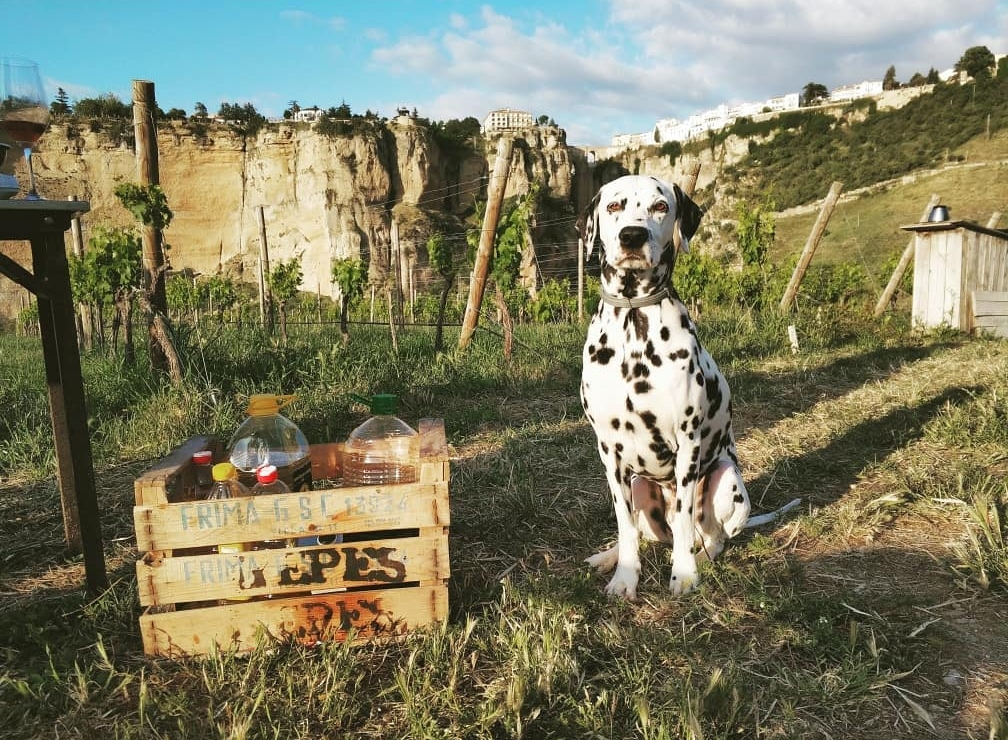 dalmatian and olive oil