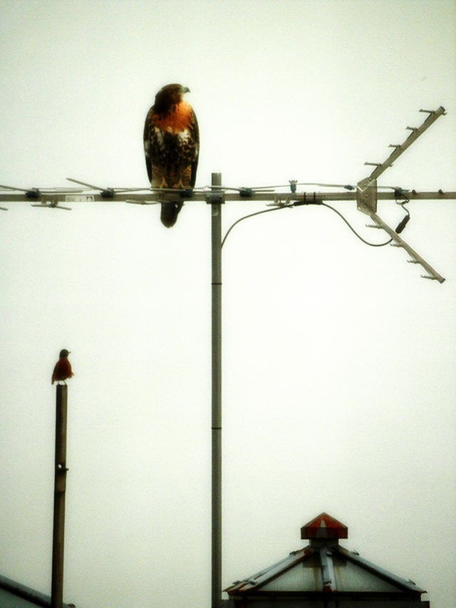 hawk-only.jpg