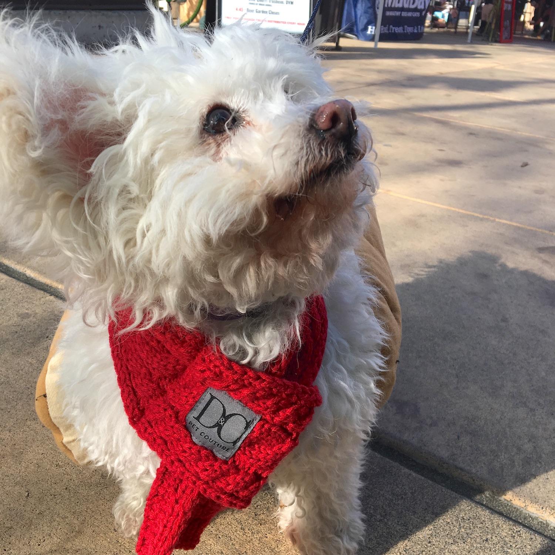 white_dog_red_bella.JPG