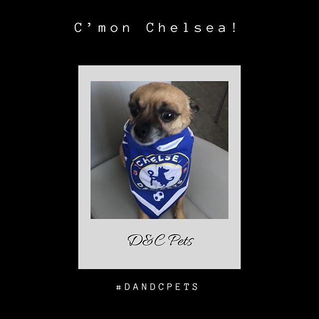 #chelsea Dog Bandana 🐶 ⚽️ 🐶  #dandcpets #dandcpetcouture