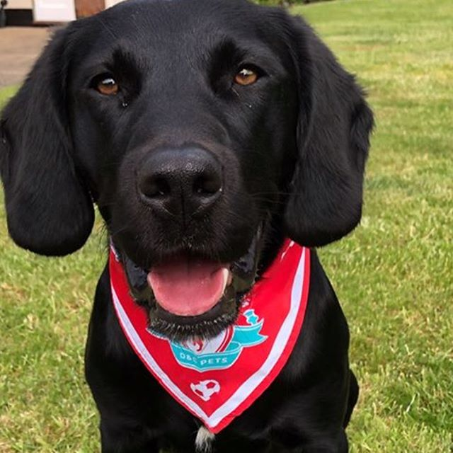 How cute is Billy in his Liverpool FC Bandana?! Buy yours via the link in my profile 😍 Thanks to Noreen Collins for sharing this pic!