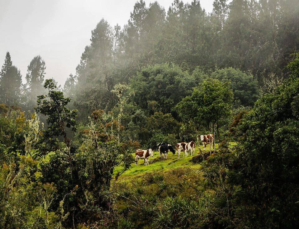 koeien 3.jpg