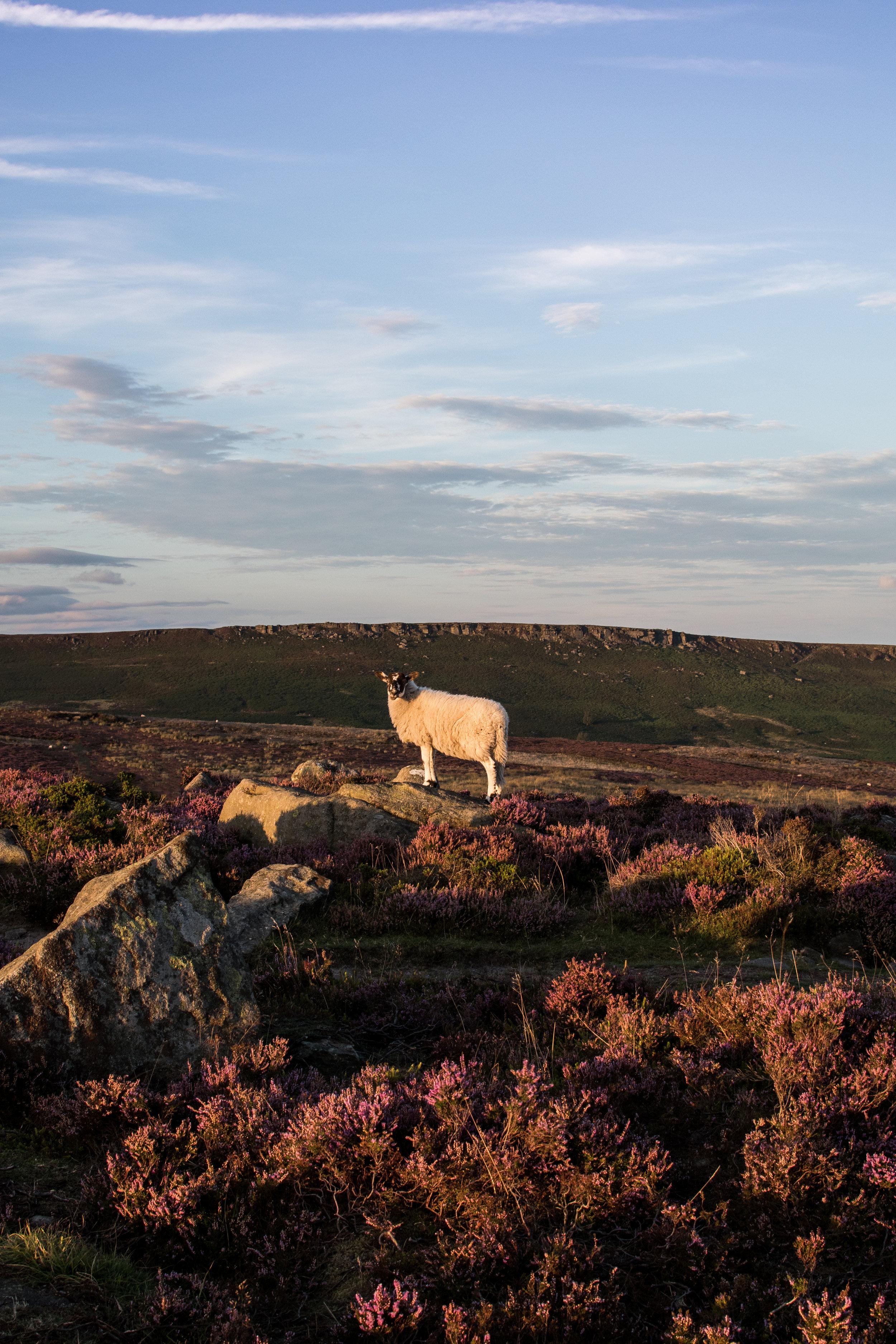 SHEEP ON BAMFORD EDGE