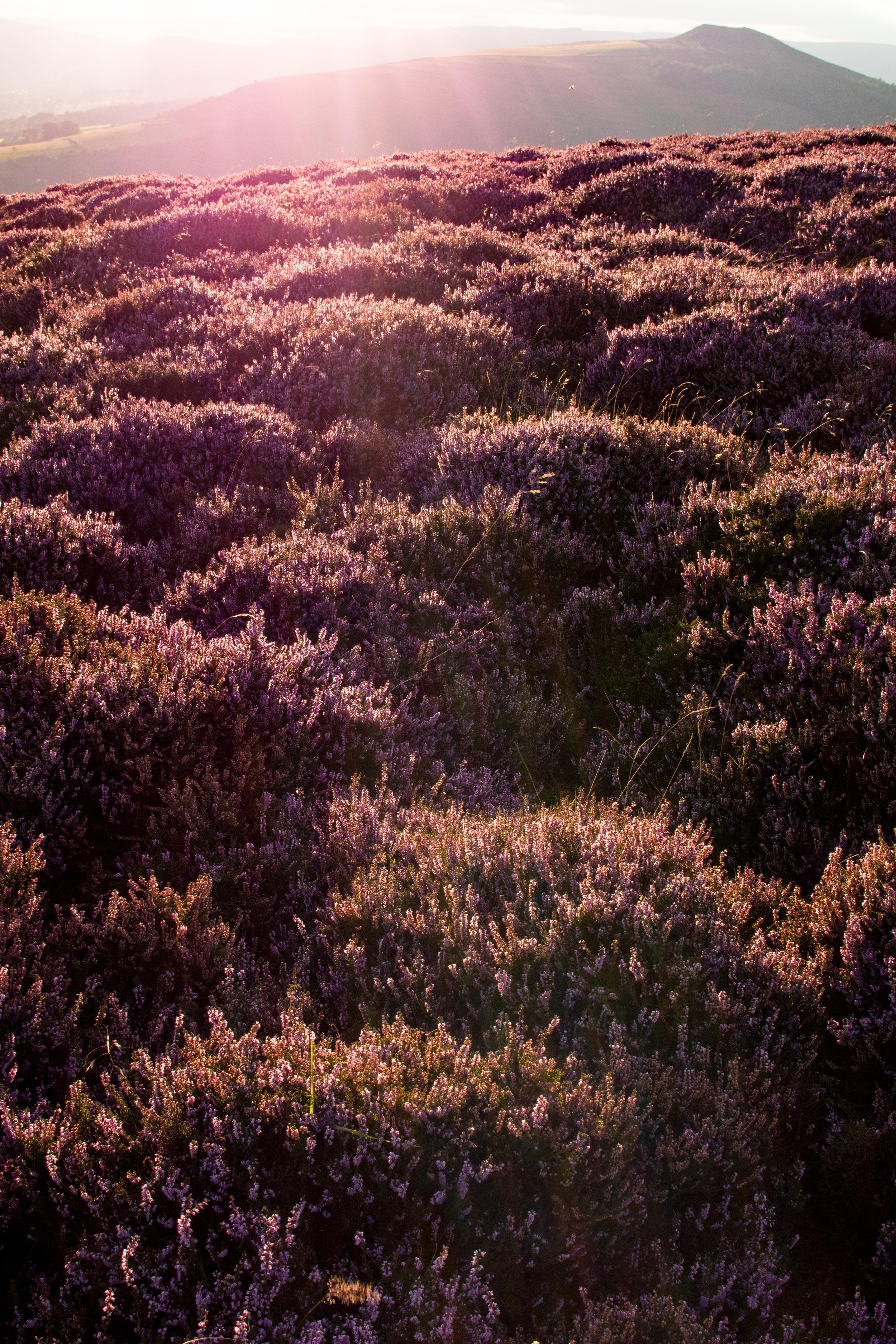 SUNSET HEATHER AT BAMFORD EDGE
