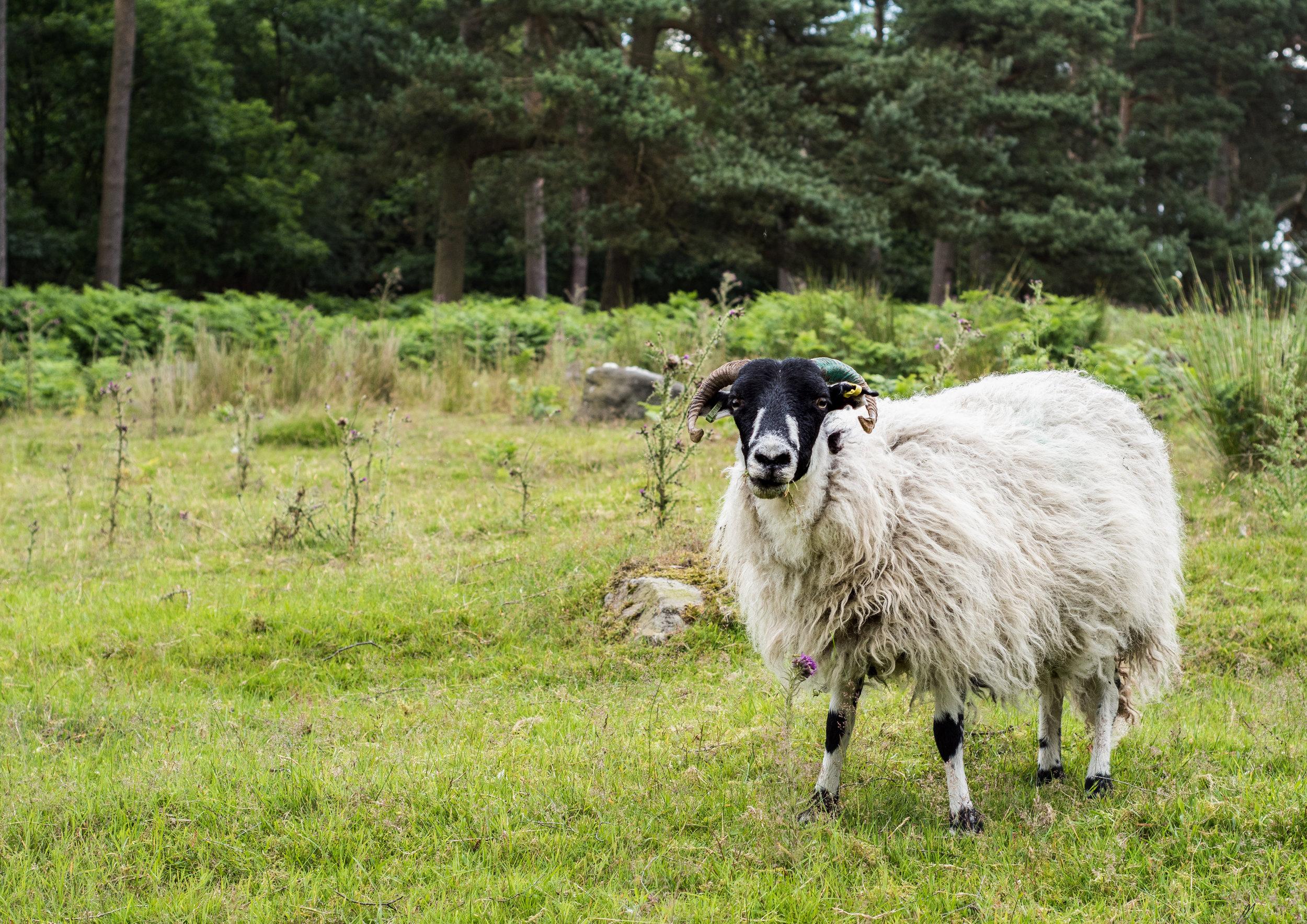 SHEEP IN THE PEAKS