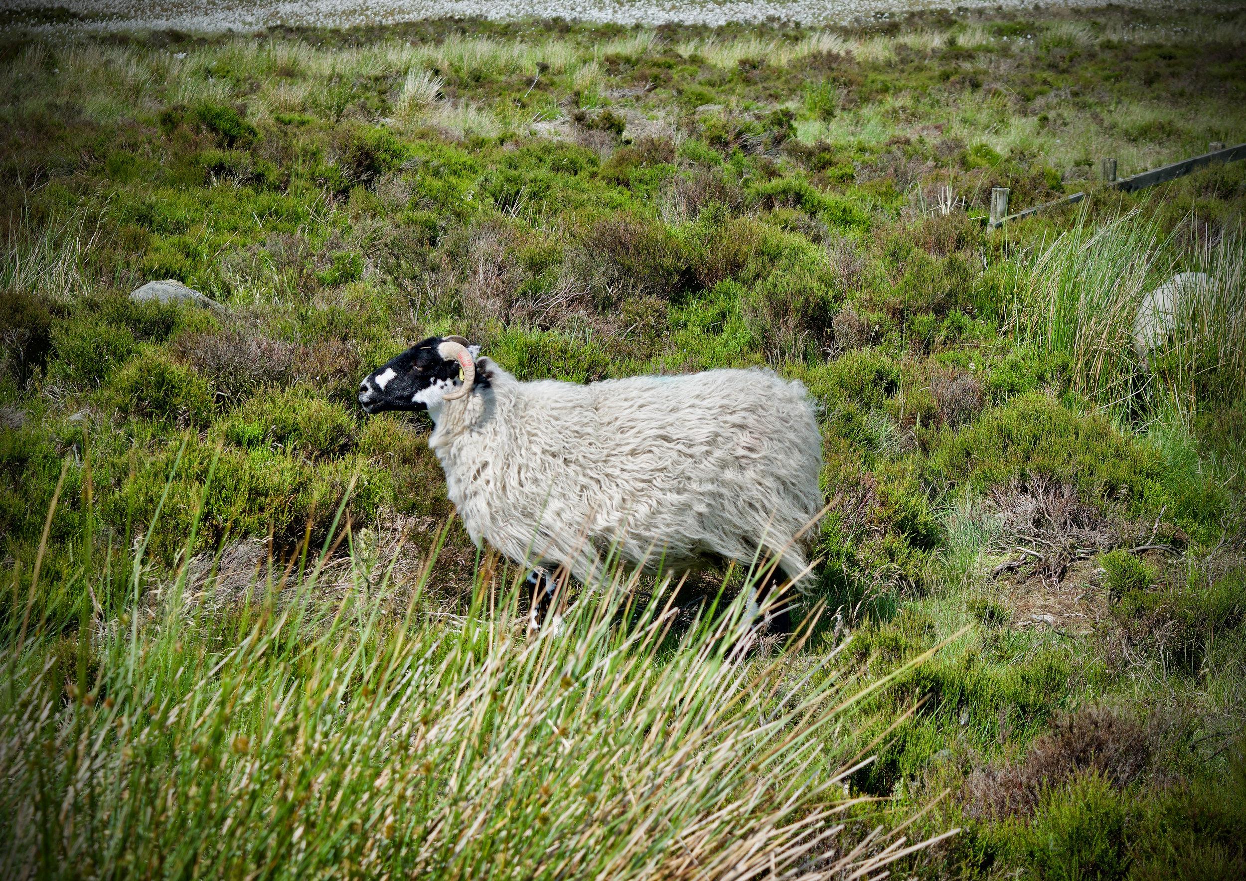 SHEEP AT BURBAGE