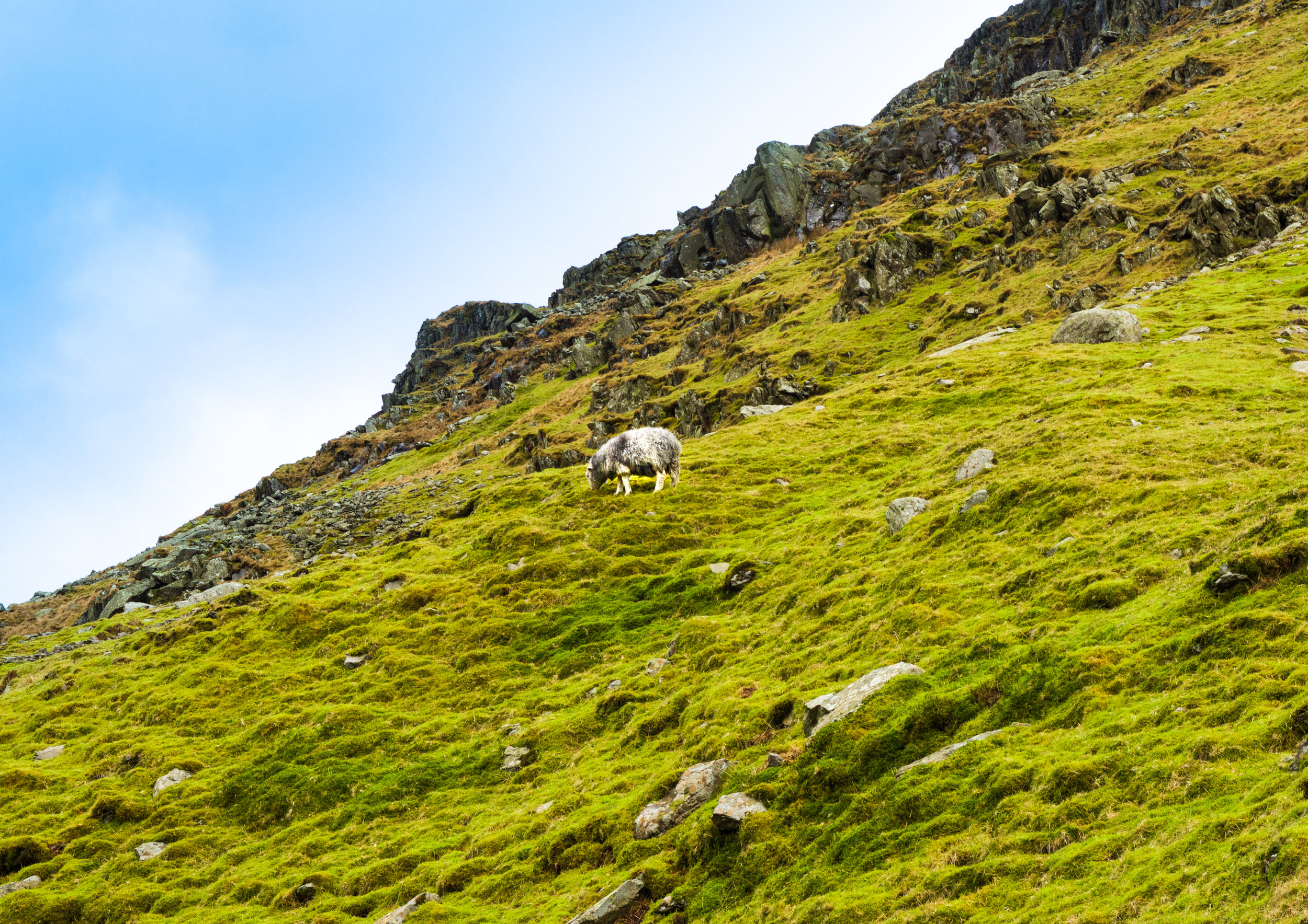 LONE SHEEP ON RED SCREES