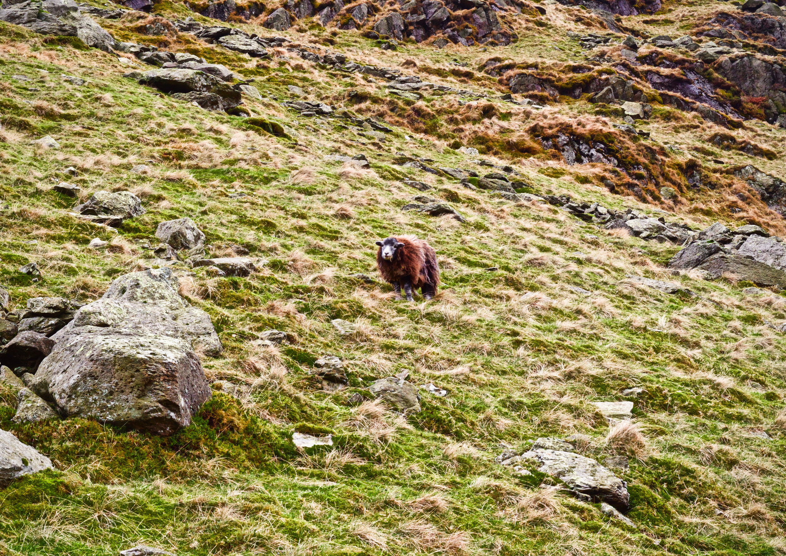 SHEEP ON THE SIDE OF KIRKSTONE PASS