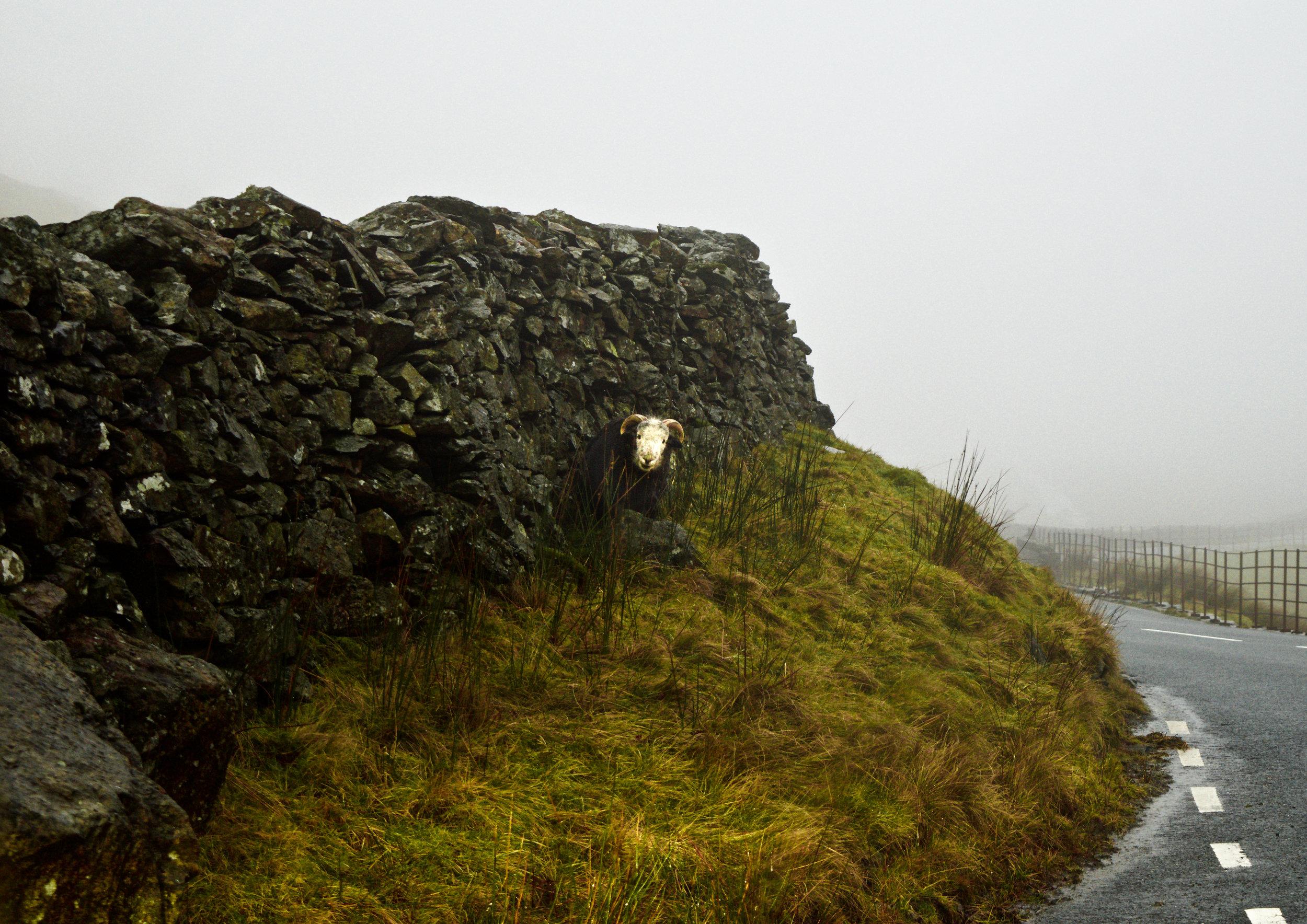 SHEEP ON KIRKSTONE PASS