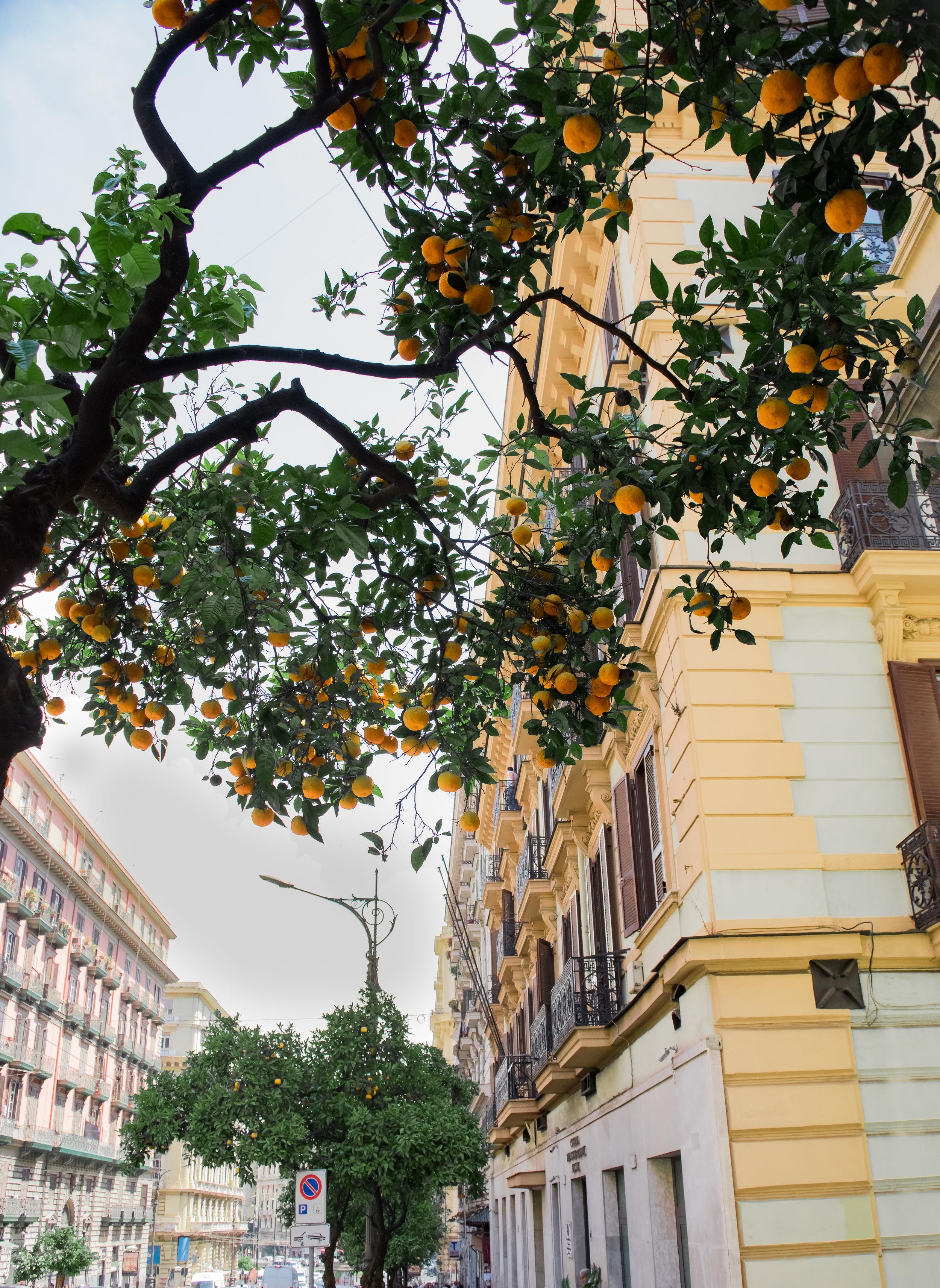 ORANGE TREE, NAPLES