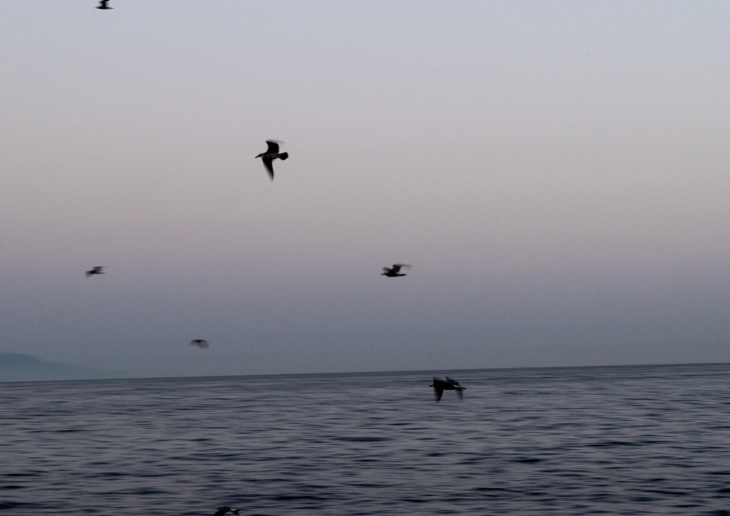 BIRDS OFF THE COAST OF NAPLES