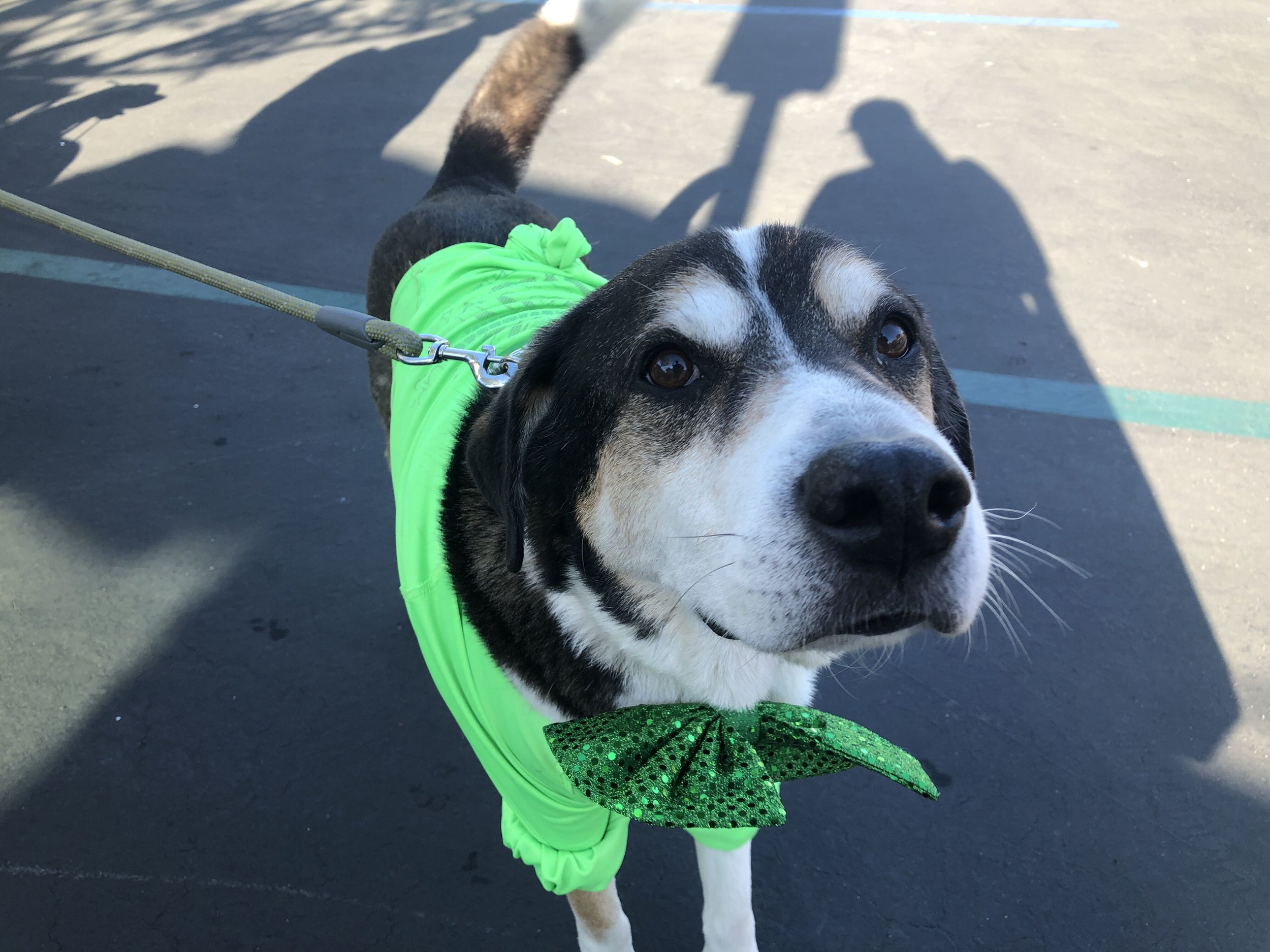 dog closeup in st patty's costume.jpeg