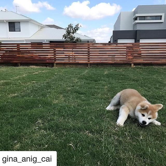 We love seeing our fellow Japanese Akita family pics! Make sure to tag us in your photos! @japaneseakitainuaustralia #Repost @gina_anig_cai (@get_repost) ・・・ #japaneseakitainu #Toodou Play play❤️