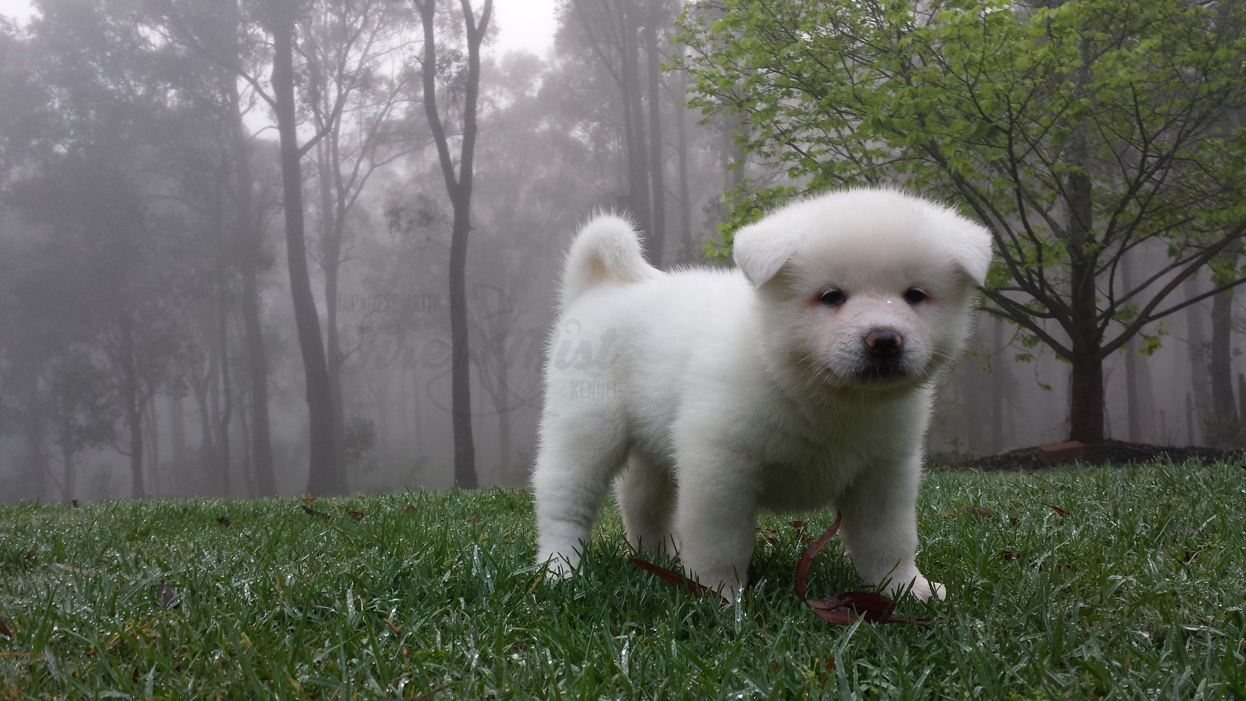 White Japanese Akita Inu puppy