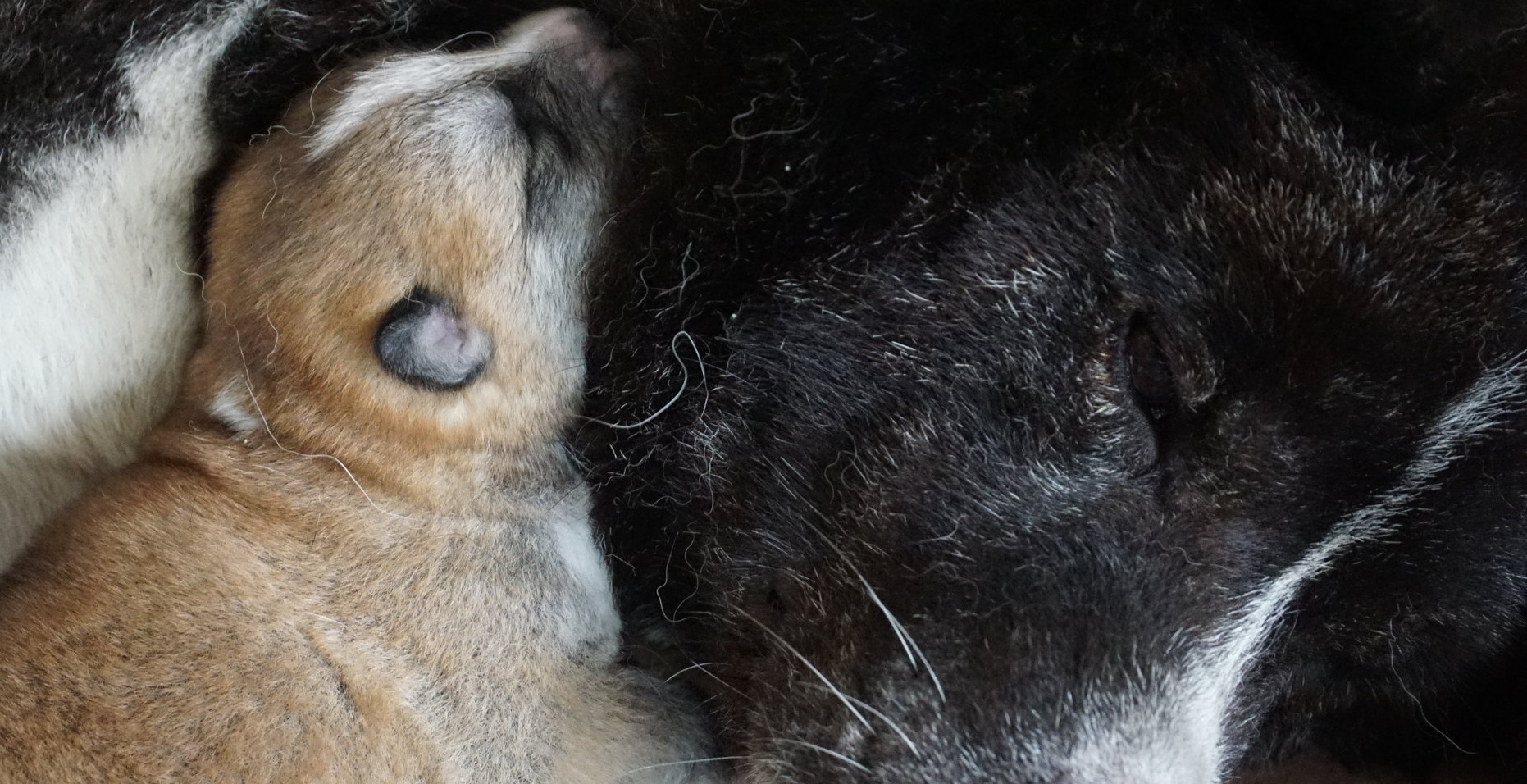 Japanese  Akita INu  Puppy sleeping on mums neck