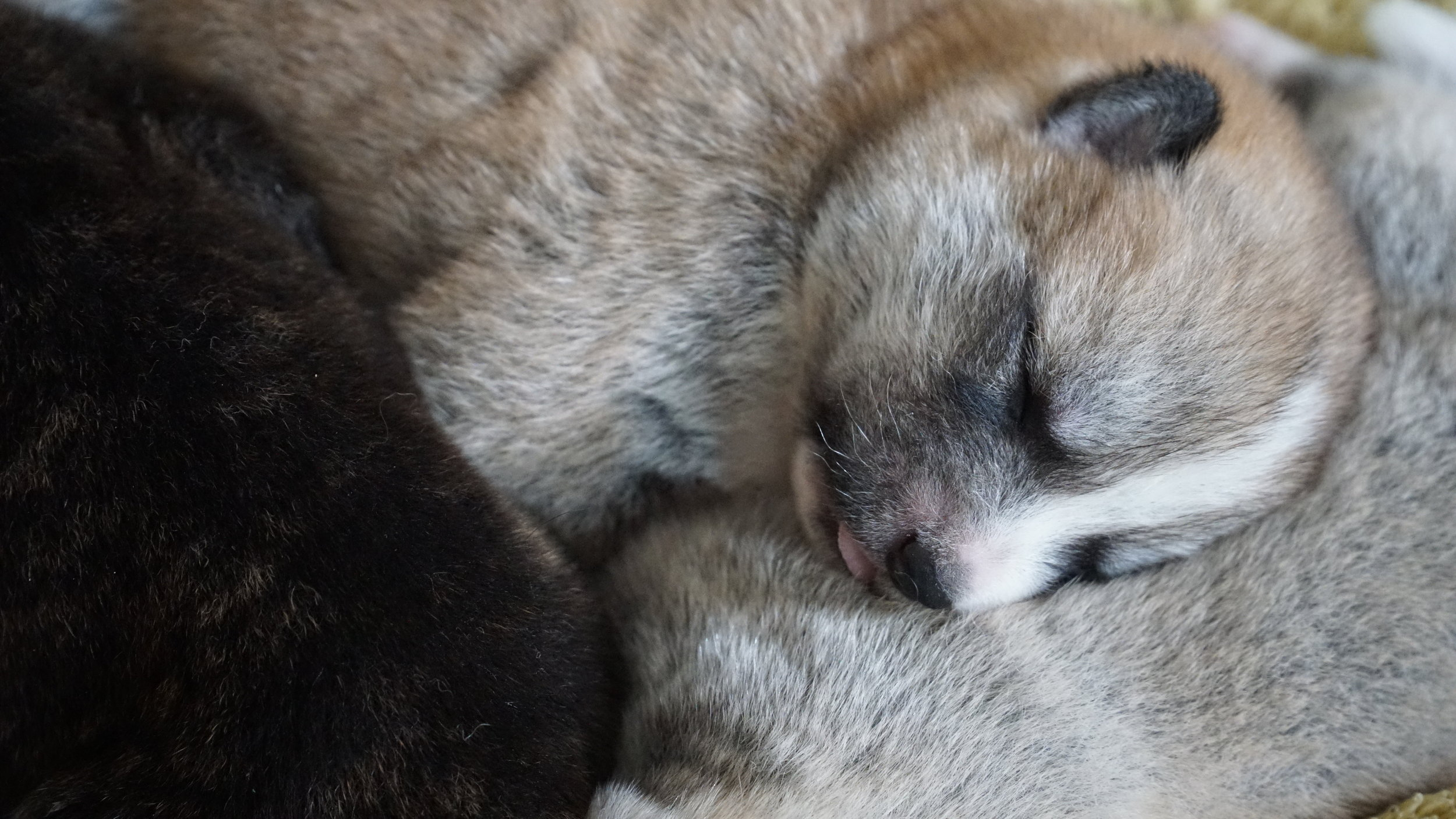 day 5 red Japanese akita inu puppy in deep sleep