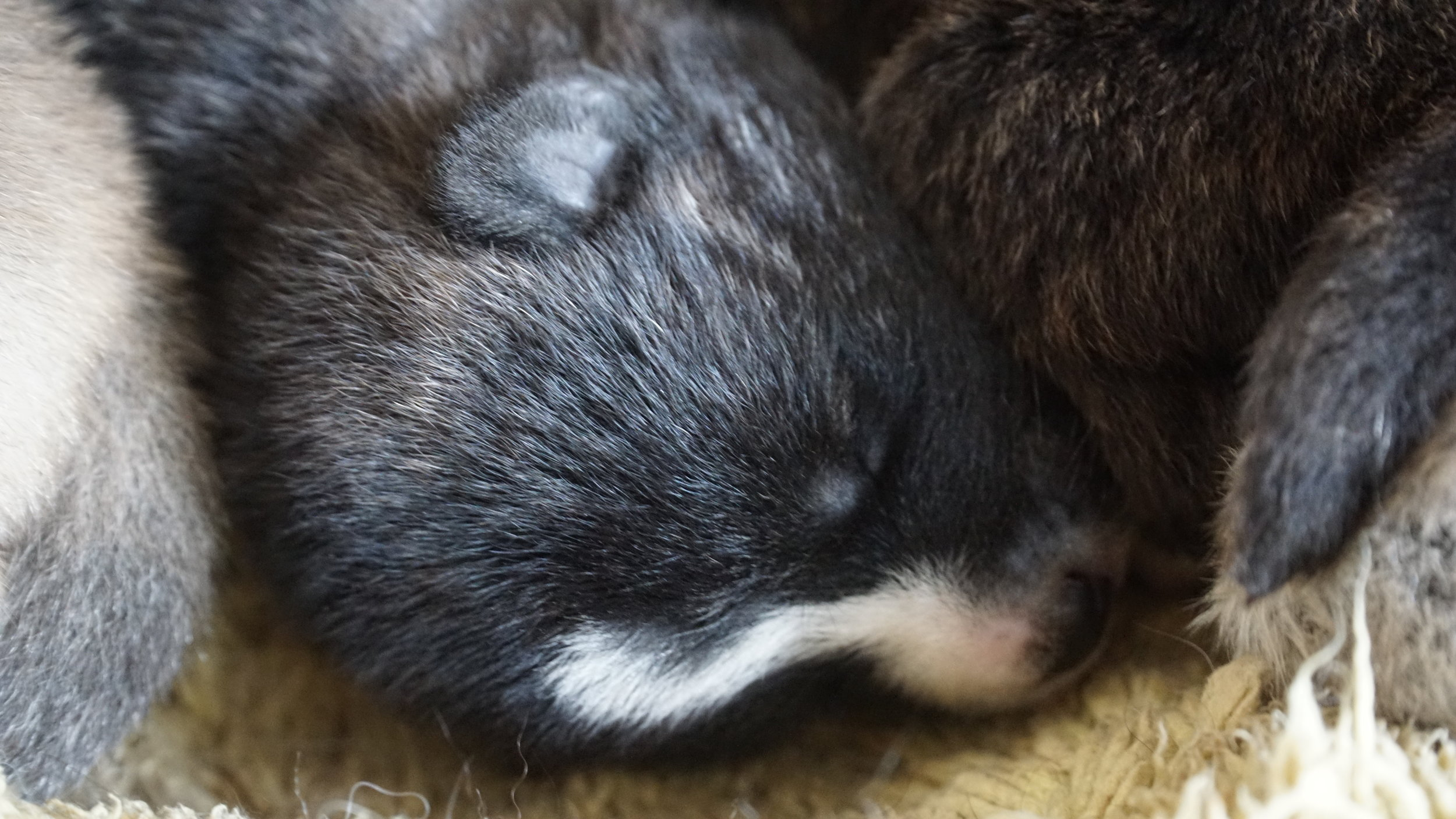 day 5 Brindle japanese akita inu puppy snuggled warm with his brothers and sisters