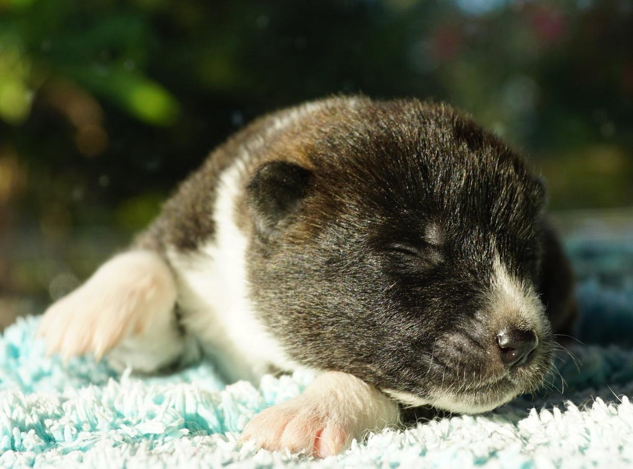 day 12 Brindle boy Japanese Akita Inu Puppy