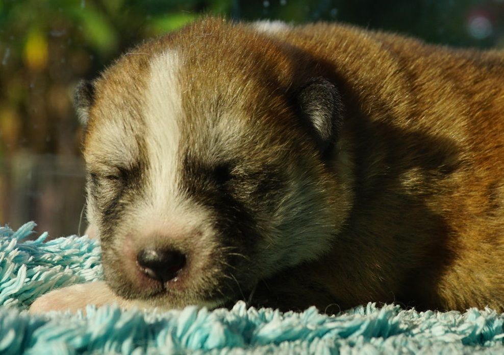 day 12 Red Girl Japanese Akita Inu Puppy