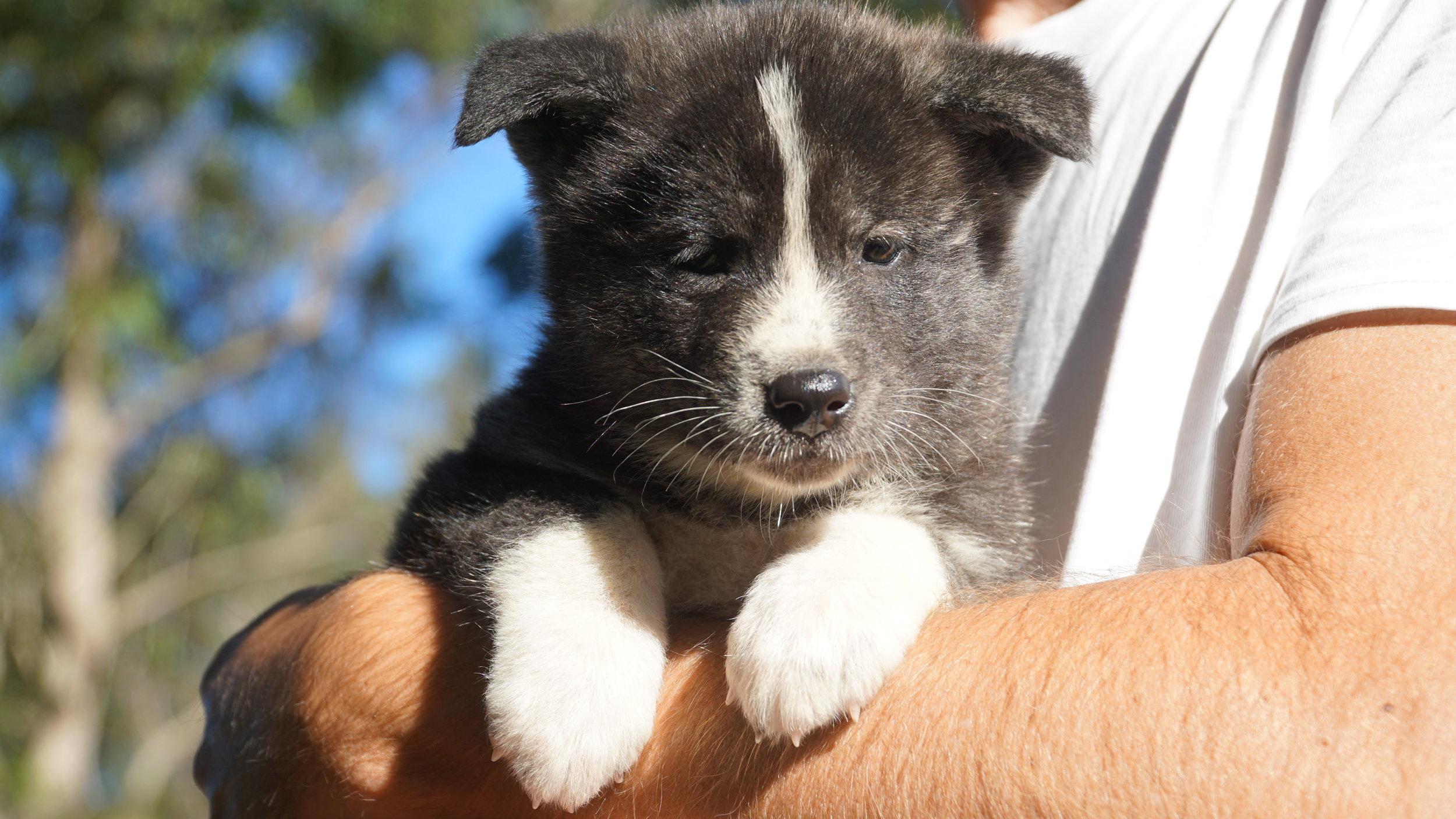 Japanese Akita Brindle Girl puppy.JPG
