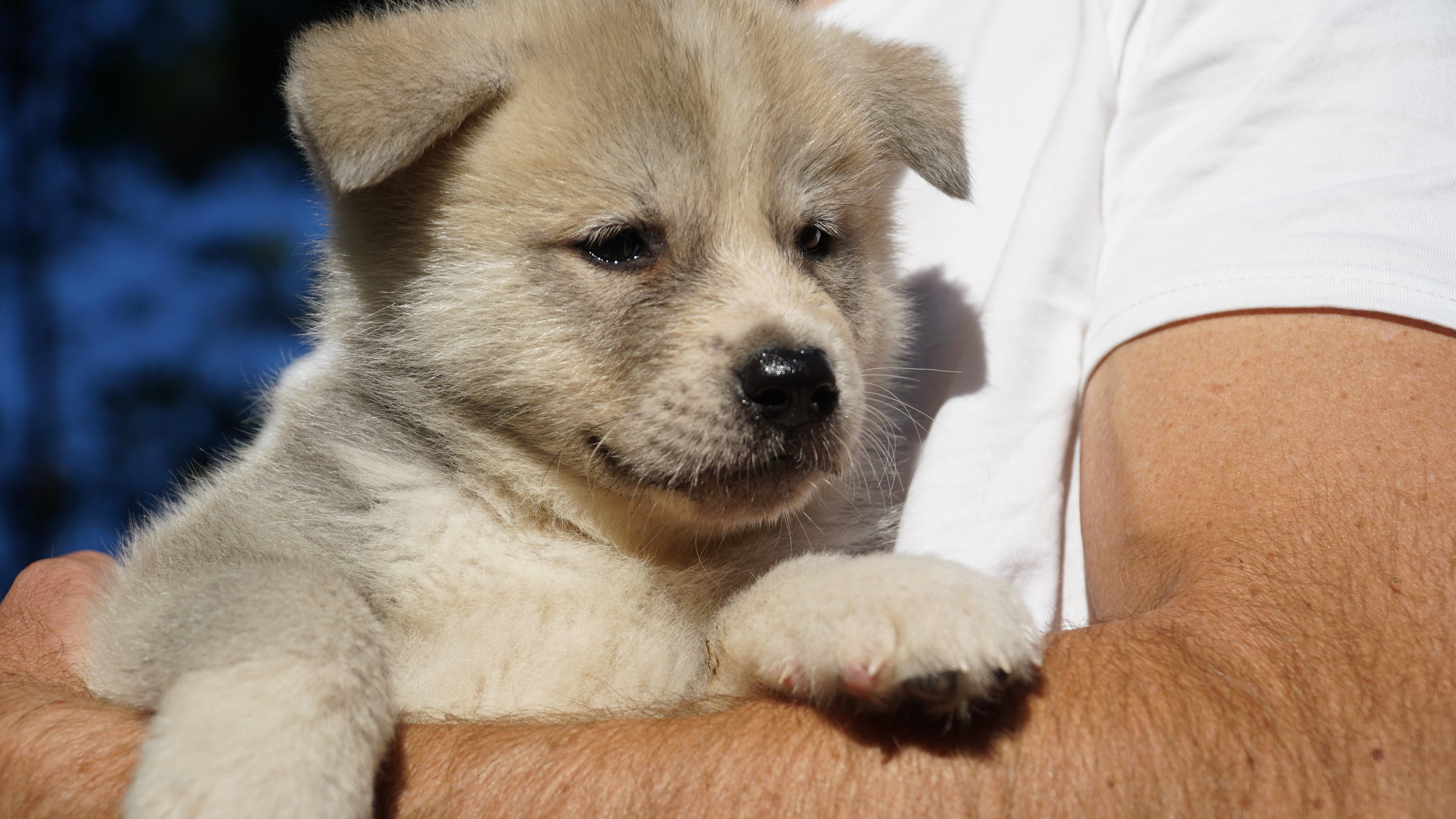 Japanese Akita Red boy puppy.JPG