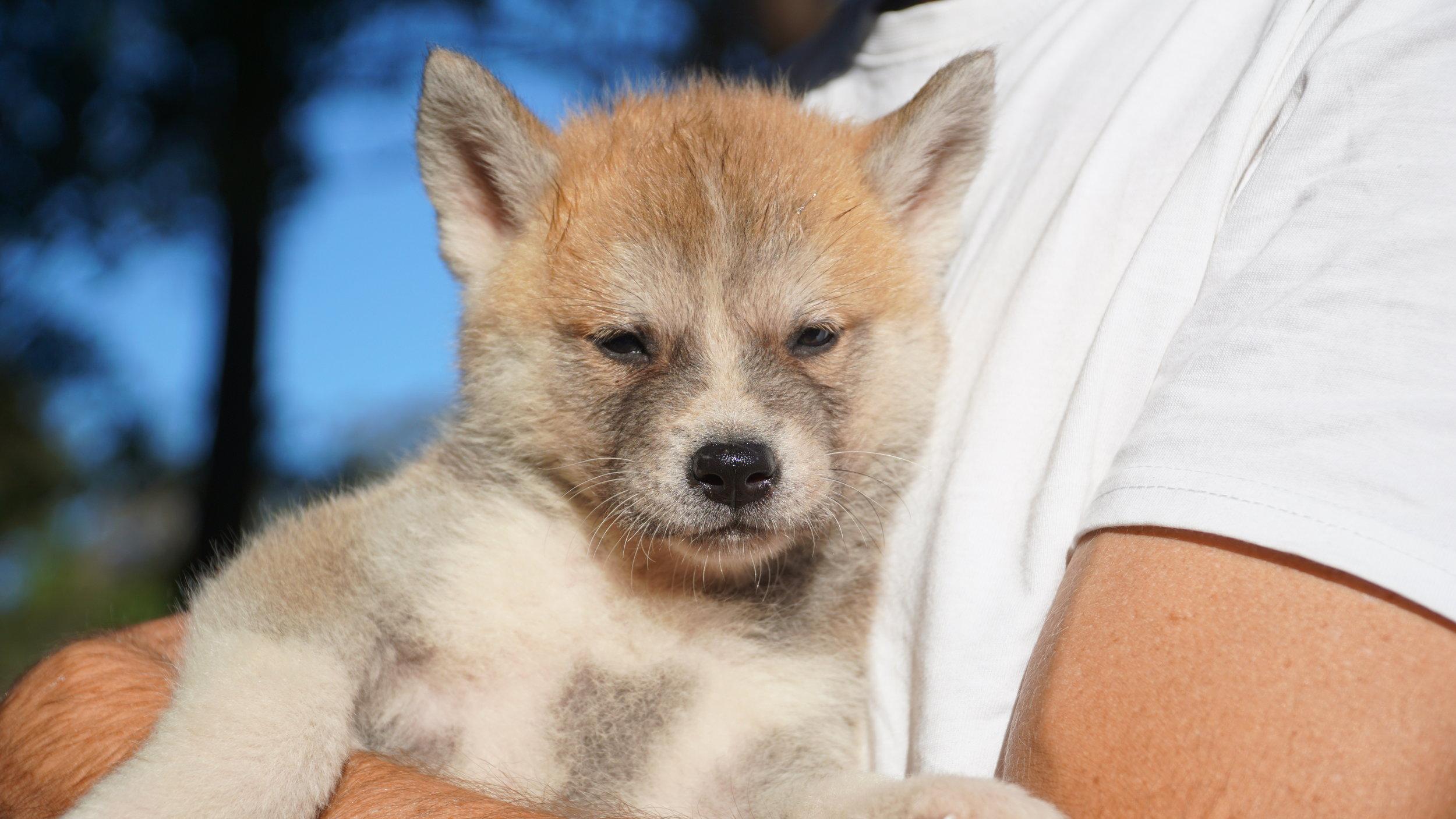 Japanese Akita Red boy pup.JPG