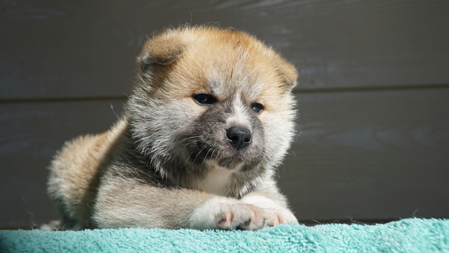 1 Male Red Fawn Japanese Akita Puppy